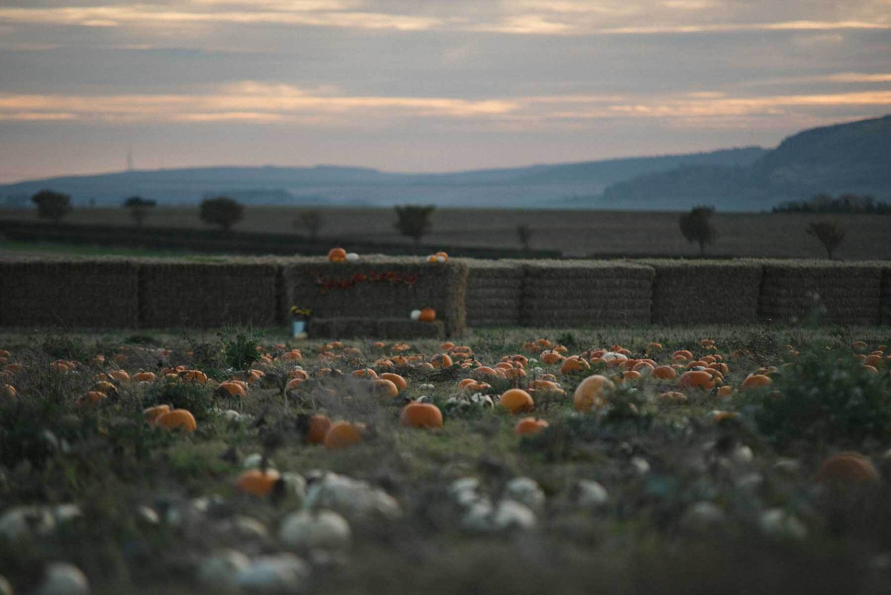 Kilduff Farm Pumpkin Patch East Lothian